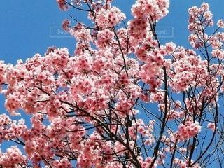 自然,空,花,春,屋外,ピンク,青,景色,鮮やか,樹木,カラー,草木,桜の花,さくら,ブロッサム,インスタ映え,ホトジェニック