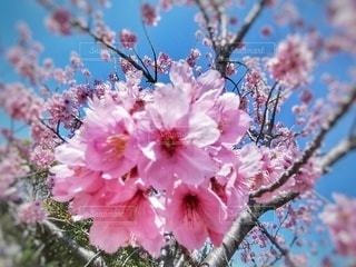 自然,空,花,春,屋外,ピンク,景色,樹木,草木,桜の花,さくら,ブルーム,ブロッサム,インスタ映え,ホトジェニック