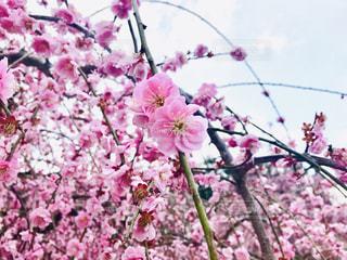 梅の季節の写真・画像素材[3014649]