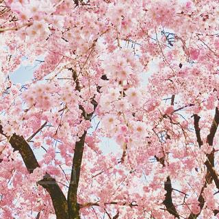 花,春,桜,木,ピンク,花見,鮮やか,満開,樹木,お花見,イベント,名古屋,草木,桜の花,さくら,ブロッサム,名古屋城下