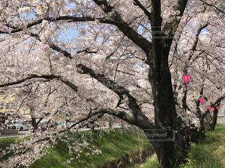 花,春,桜,木,屋外,ピンク,緑,花見,草,樹木,お花見,提灯,草木,桜の花,日中,さくら,ブルーム,ブロッサム
