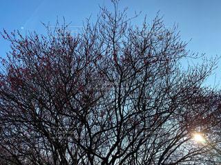 空,屋外,太陽,梅,光,樹木,梅園,草木