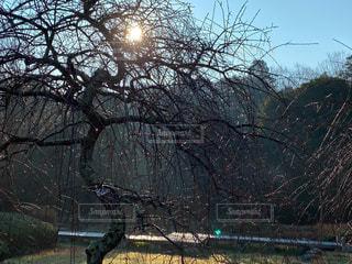 空,屋外,太陽,梅,光,樹木,梅園,朝露