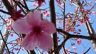 花,屋外,桜の花びら