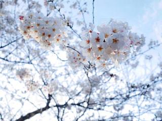 空,花,春,桜,ピンク,青空,枝,夕方,花見,鮮やか,満開,樹木,日本,日暮れ,草木,桜の花