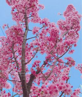 空,花,春,桜,屋外,ピンク,綺麗,晴天,樹木,日本,japan,草木,桜の花,さくら,カエデ,ブルーム,ブロッサム,おなじ花見