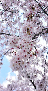 春が来たの写真・画像素材[3081529]