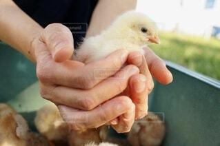 自然,動物,鳥,かわいい,手,景色,手持ち,人物,ひよこ,手乗り,可愛い,ポートレート,生き物,命,生命,小鳥,ライフスタイル,ひよ子,手元,ヒヨコ,小さな,手のり