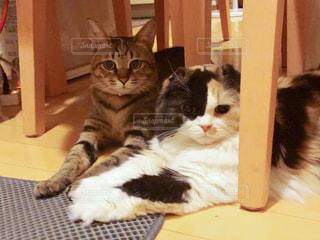 猫,動物,屋内,白,テーブル,ペット,床,人物,スコティッシュフォールド,キジトラ,二匹,キティ,ネコ