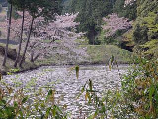 花,桜,森林,木,屋外,湖,水面,花見,お花見,新緑,イベント,草木