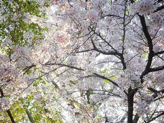 花,春,桜,木,屋外,花見,樹木,お花見,イベント,草木,桜の花,さくら,ブルーム,ブロッサム
