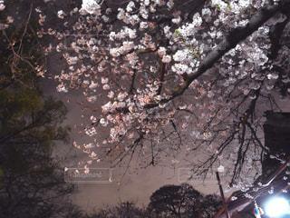 自然,花,春,桜,木,屋外,花見,夜桜,景色,樹木,お花見,イベント,草木,桜の花,さくら,ブロッサム
