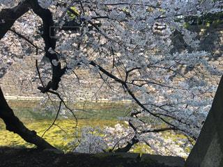 春,桜,晴れ,花見,サクラ,皇居,お堀,ソメイヨシノ,古木
