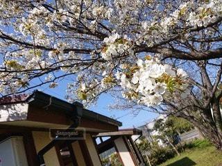家族,空,花,春,屋外,観光,樹木,草木,さくら,ブロッサム