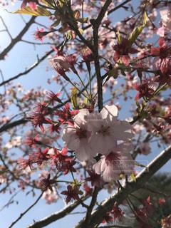 空,花,春,桜,屋外,ピンク,枝,サクラ,樹木,お花見,桜の花,さくら,ぴんく