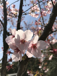 空,花,春,桜,屋外,ピンク,青空,晴天,枝,樹木,お花見,3月,Spring,スプリング,桜の花,4月,さくら,ぴんく
