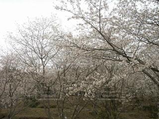 空,花,春,屋外,ピンク,景色,満開,草,樹木,お花見,草木,さくら,ぴんく