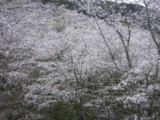 花,春,桜,屋外,ピンク,サクラ,満開,樹木,お花見,草木,桜の花,さくら,ぴんく