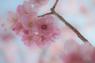 花,春,ピンク,花見,お花見,イベント,草木,桜の花,さくら,ブロッサム