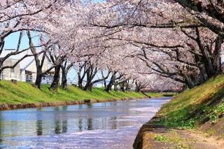 五条川 桜の写真・画像素材[3088518]