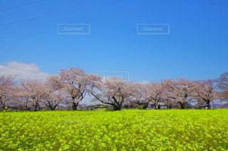 桜と菜の花畑の写真・画像素材[3240572]