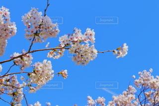 桜の枝と青空の写真・画像素材[3240563]
