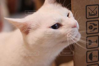 猫,動物,屋内,白,かわいい,ペット,人物,ネコ,ネコ科の動物