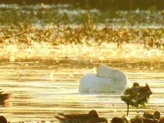 まだ寝ていたい白鳥の写真・画像素材[4320082]