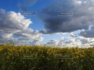 雲と菜の花の写真・画像素材[4619373]