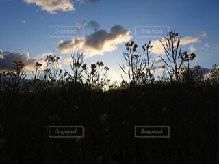 菜の花畑の朝の写真・画像素材[4619377]