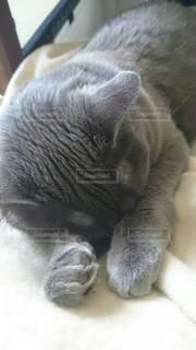 猫,動物,かわいい,室内,家,ペット,寝る,子猫,人物,布団,毛布,グレー,睡眠,おやすみ,ネコ