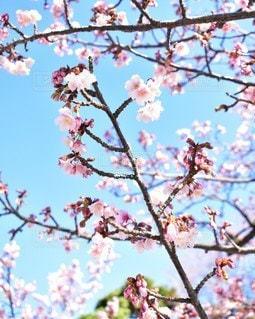 自然,空,花,春,桜,木,屋外,ピンク,葉,季節,花見,景色,お花,鮮やか,満開,樹木,お花見,イベント,新生活,草木,桜の花,さくら,ブロッサム,フレッシャーズ