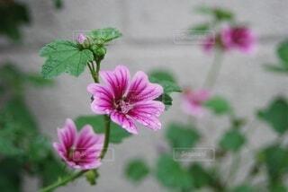 都会の片隅で咲き誇るマロウ(ゼニアオイ)の花の写真・画像素材[4401871]