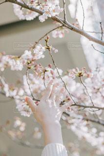廃校を背に桜の儚さを見つけて。の写真・画像素材[2810997]