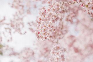 空,花,春,桜,ピンク,青空,さくら