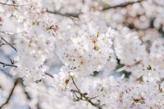 花,春,桜,花見,満開,桜の花,ソメイヨシノ,さくら