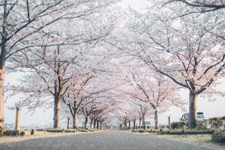 桜回廊の写真・画像素材[3085904]