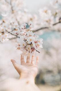 桜に触れたくての写真・画像素材[4231836]