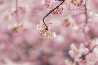 桃色の景色の写真・画像素材[4231835]