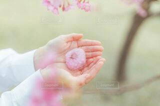 桜もちの写真・画像素材[4231834]