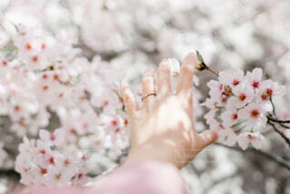 桜と初桜の写真・画像素材[4301643]