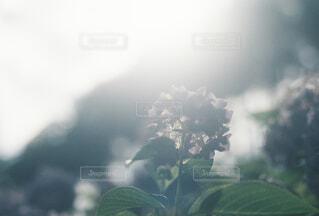 紫陽花のシルエットの写真・画像素材[4558495]