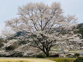 空,花,春,桜,屋外,樹木,草木,桜の花,薄墨桜,さくら,ブロッサム