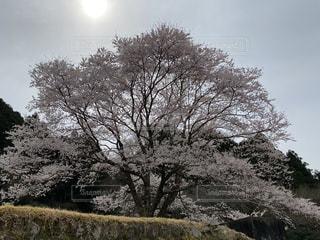 空,花,桜,屋外,花見,樹木,三重,薄墨桜,美杉