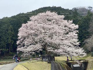 空,花,桜,屋外,花見,樹木,三重,草木,薄墨桜,美杉