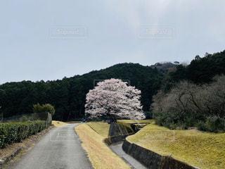 空,花,桜,屋外,花見,草,樹木,三重,草木,薄墨桜,美杉