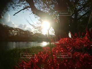 自然,空,花,夕日,屋外,太陽,夕焼け,光,樹木,ヒガンバナ,草木