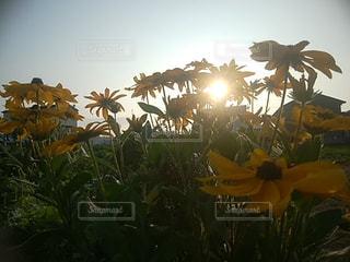 自然,空,花,太陽,晴れ,光,草木,ルドベキア