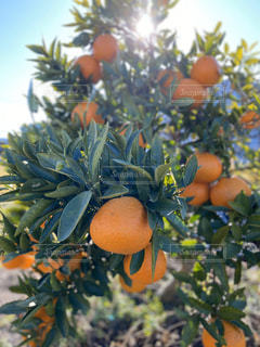 食べ物,風景,空,太陽,晴れ,晴天,オレンジ,光,果物,柑橘類,伊予柑