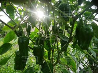 食べ物,空,太陽,晴れ,晴天,光,野菜,ピーマン,食材,草木